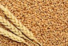 اجمالى 943,3 ألف طن رصيد مخزون القمح بالشون والمخازن بنهاية 2019 /2020